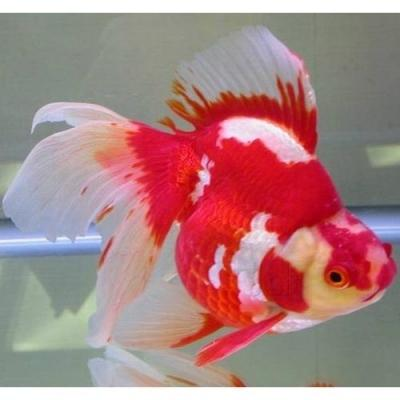 Discover Ornamental Fish Market to receive overwhelming hike in Revenues by 2020-2029
